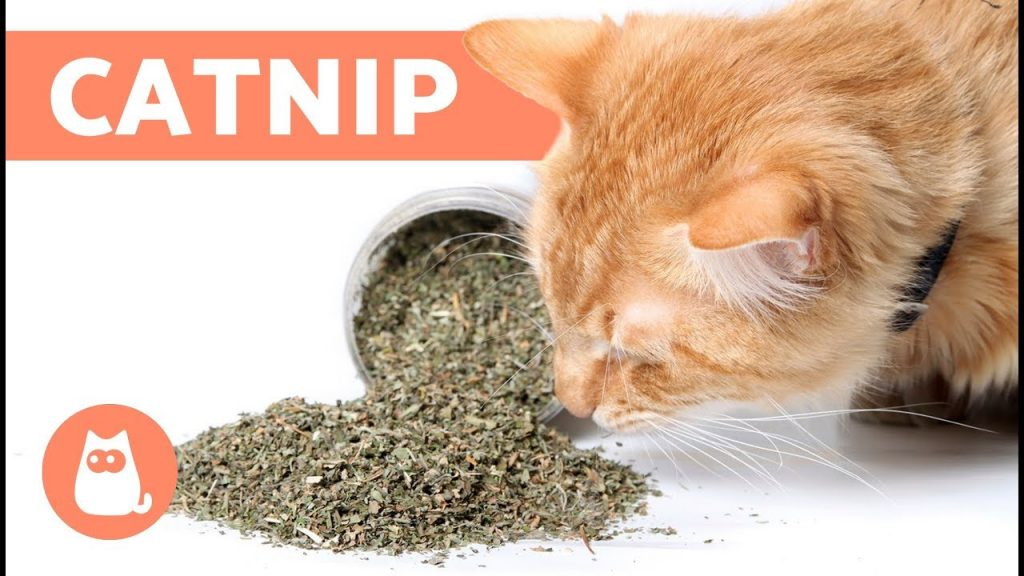 Some Catnip Facts