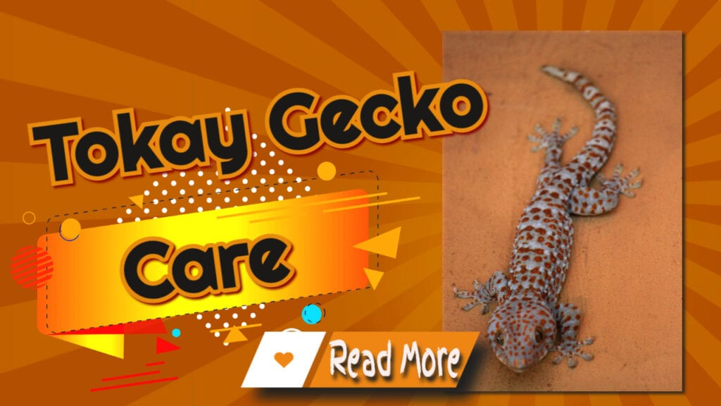 Tokay Gecko Care Are They Easy To Keep