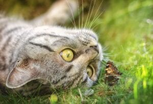 cat lying watching a butterflie