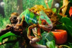 chameleon walking in foilage