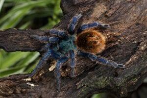 chromatopelma-cyaneopubescens-spider