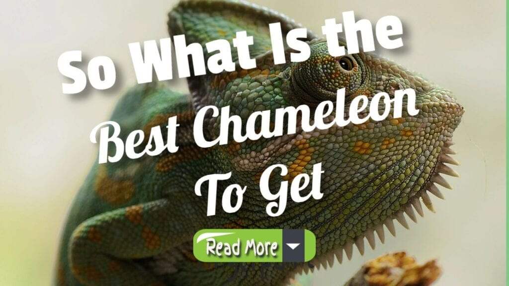 so what is the best chameleon to get