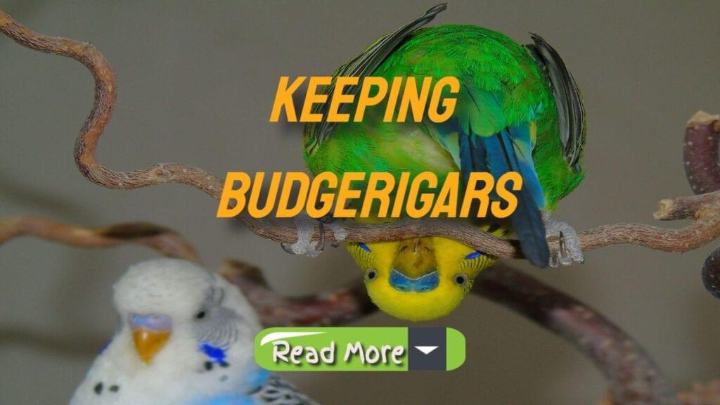 keeping budgerigars